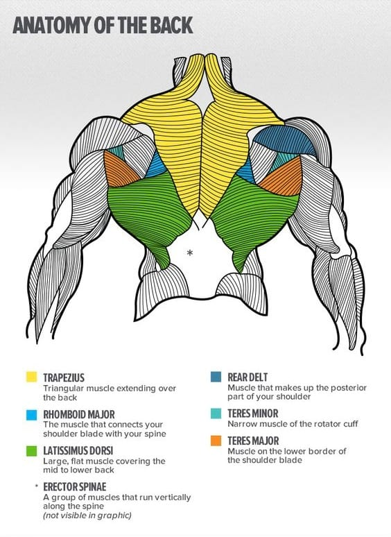 the anatomy of the back