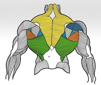 The Anatomy of a persons back
