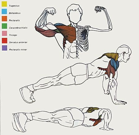 showing the muscles used while performing a push-up